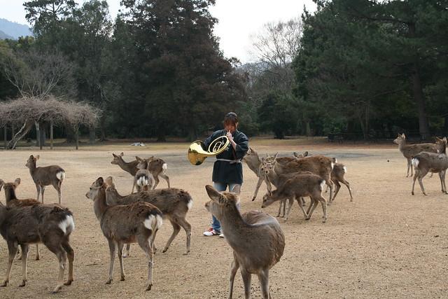 奈良の鹿寄せ 2011 - 02