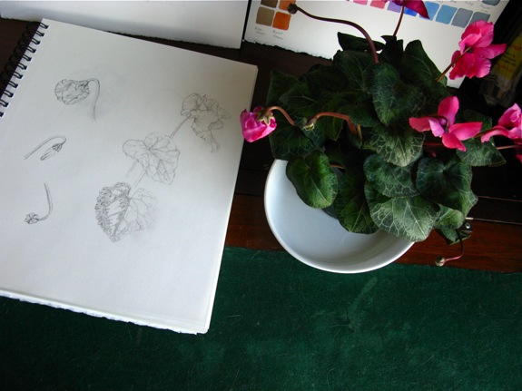 cyclamen botanical illustration 011