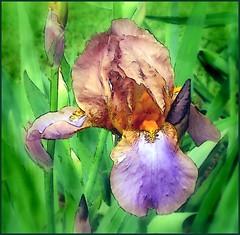 flickr iris 1 - watercolor