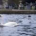 The Swan_8