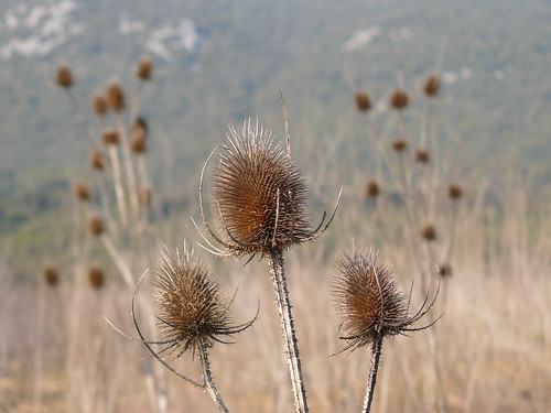 in a field of dry thistles