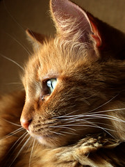 Pensive (Jason A. Samfield) Tags: portrait cats macro eye beautiful animal animals composition cat fur sadness ginger eyes feline dof sad gorgeous tabby ears depthoffield whisker ear pensive felines cateyes angelic depth leeloo catears pensivity gingercat cateye tabbycat pensiveness catear wshikers