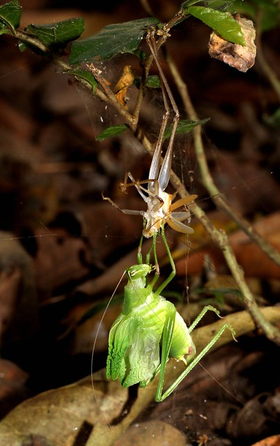 Tree Cricket - Shedding