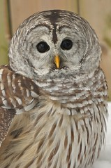 The Barred Owl (affinity579) Tags: winter wild nature beautiful nikon quebec wildlife owl barredowl birdwatcher 70200mm ecomuseum naturesfinest d90 supershot specanimal