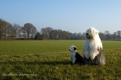 look Sarah overthere.... * explore * (dewollewei) Tags: old dog english sheepdog pup bobtail oes oldenglishsheepdog sheepdogs oldenglishsheepdogs sweetexpressions dewollewei