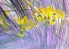 Listen With Your Eyes. (musicman67) Tags: iris flower grass yellow washington vivid colorphotoaward colourartawards