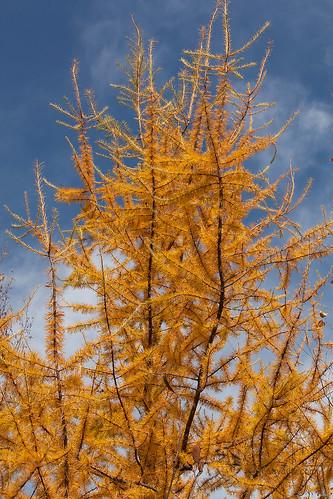Autumn Tamaracks  05.jpg