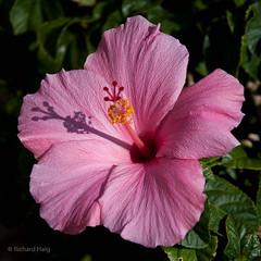 1102209031 (RichHaig) Tags: shadow flower hibiscus fl isladelsol fantasticflower nikond90