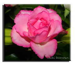 GENTLENESS (EXPLORED)#354 (vicki127.) Tags: pink flower macro rose canon300d admiration gentleness digitalcameraclub absolutelyperfect youmademyday flickraward macroflowerlovers ilovemypics february2011 wonderfulworldofflowers awesomeblossoms flickrflorescloseupmacros adobephotoshopcs5 vickiburrows vicki127