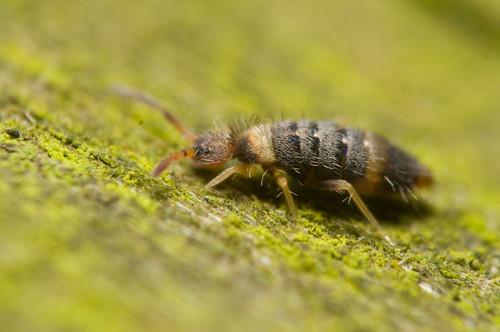 Entomobrya albocincta