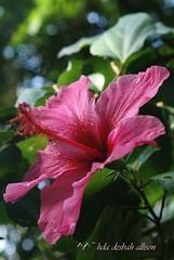 ~ pretty ...pretty...please........~ (^i^heavensdarkangel2) Tags: pink flower macro nature closeup petals drops colorado bokeh earth sony denver hibiscus pinkflower motherearth pinkhibiscus colorfulcolorado heavenlyhibiscus heavenlypink sonydslra200 sunshinelite heavenlyflower denversbutterflypavilion desbahallison heavensdarkangel2 whenufelllessthanperfect