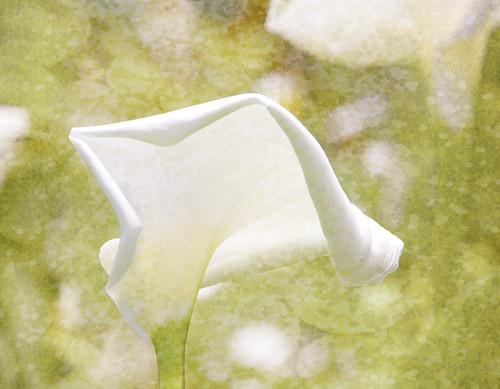 lily_petals