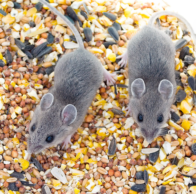 Mice in the feed