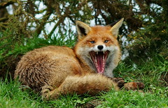 [Free Image] Animals, Mammalia, Canidae, Fox, Open one's mouth, Yawn, 201103021100