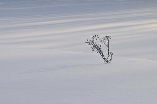 Snow & Thistle