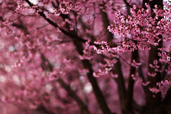 Spring in February (mcmillend) Tags: pink atlanta spring decatur cherrytree