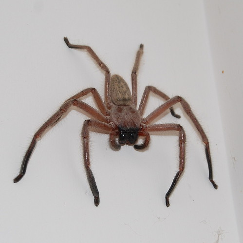 Enormous huntsman spider