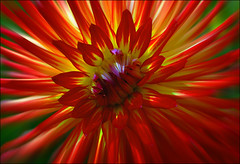 Happy Scarlet Sunday...... (TLPhotography66 ~) Tags: dahlia flowers light shadow red flower macro nature colors yellow scarlet nikon shadows glowing dahlias macrophotography d60 hss sunshadows flickrflorescloseupmacros scarletsunday happyscarletsunday tlphotography