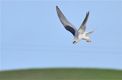 Coming In For The Catch - A Series (goingslo) Tags: kite hawk tail raptor falcon shoulder whitetailedkite blackshoulderedkite elanusleucurus