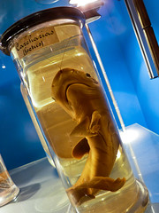 Shark foetus (Channed) Tags: museum natuurhistorischmuseum rotterdam animal nederland holland thenetherlands chantalnederstigt carcharias sandshark shark haai aquafortis sterkwater strongwater blue channedimages