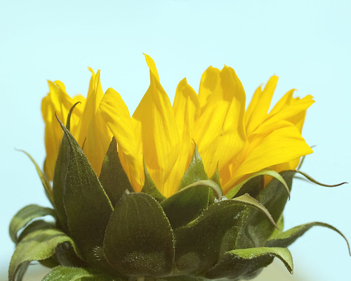 Sunflower by theshutterbugeye