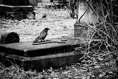 friedhof münchen 4419 (s.alt) Tags: old friedhof cemetery grave graveyard germany munich münchen bayern deutschland bavaria death decay south crow fading grab alter südfriedhof südlicher