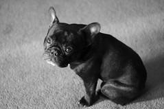 Sleepy (Lainey1) Tags: bw dog cute nikon glare adorable canine bulldog sleepy tired sit stare frenchie frenchbulldog ozzy d90 alienskin nikond90 exposure3
