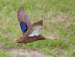 Mottled Duck in Flight (Phil Armishaw) Tags: wild copyright birds duck phil florida fields sarasota celery mottled 2011 armishaw