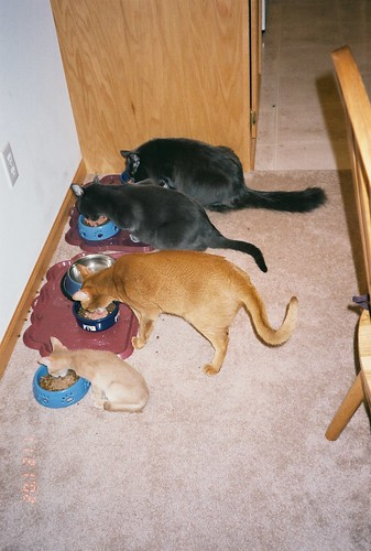 Four cats eating (baby Pharaoh)