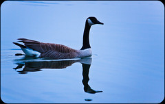 Canada Goose (Greg Booher) Tags: blue usa lake water swimming canon bristol rebel evening tennessee goose sullivan canadagoose refelction xsi easttennessee southholstonlake 450d 55250 northeasttennessee gregbooher mygearandme mygearandmepremium