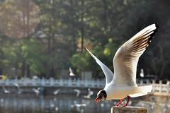 Seagull...海鷗 (Rosanna Leung) Tags: china morning lake bird feeding seagull yunnan 中國 鳥 海鷗 雲南 昆明 kuming 翠湖 翠湖公園 飼養 菜海子