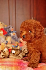 Pinocchio (girl enchanted) Tags: bear red cute puppy toy teddy bears adorable poodle aww pinocchio steiff toypoodle poodlepuppy redpoodle
