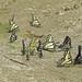 Swallowtails using a Big Creek sandbar for minerals, Frank Church Wilderness, ID