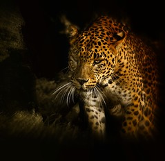 leopardo (jorgetorre2) Tags: africa españa valencia cat leopardo nikon bravo leopard gato felino sabana depredador d90 phanter bioparc bratanesque comunidadavalenciana mygearandme