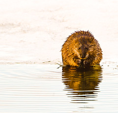 Muskrat Love! (NikonD3xuser1(Thanks for 253,000 visits)) Tags: lake reflection wisconsin madison muskrat monona mygearandme