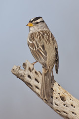 Over the Shoulder White Crowned Sparrow (Jeff Dyck) Tags: arizona birds canon sparrow perched cholla 800mm whitecrownedsparrow zonotrichialeucophrys amada whitecrowned jeffdyck billforbes canonef800mmf56lisusm pondatelephanthead