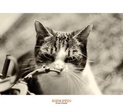 Bélus (Kovács Krisztián Short) Tags: gato katze f2 macska 58mm helios 582 niks kovács krisztián bélus