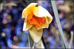 [12/52] ~ Burlesque (opheliaTN) Tags: italy flower primavera nature garden spring flora bokeh natura cher daffodil trento welcome 12th fiore burlesque narciso trentino chiuso giardino narcissus benvenuto clodes sottoveste 1252 patticoat 52weeksproject