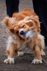 Shaking off (WilliamMarlow) Tags: dog dogs cc creativecommons cocker cockerspaniel winston americancocker