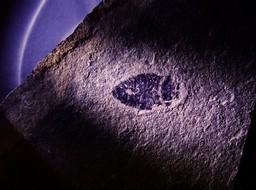 三叶虫 化石