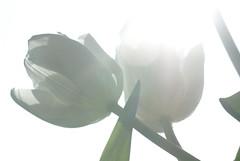"""The Innocence of Spring"" or ""Series"" or [1/x] (░S░i░l░a░n░d░i░) Tags: life iris light sun white color love window backlight mirror march photo spring message heart spirit mind soul tulip innocence tuliptime series sufism dervish rumi ♫ loreenamckennitt cityart 2011 mevlana notprocessed ♫♫ sharethelight tattwamasi αα realityimagination theinnocenceofspring mformessage dschalaladdinmuhammadrumi ystp myownuʍoworld renateeichert جلالالدینمحمدرومی ǧalāladdīnmuḥammadrūmī maulānā resilu"