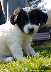*yummie gras* (Rockabella Anne) Tags: park sun nature sunshine puppy essen puppies play natur sonne nordrheinwestfalen spielen sonnenschein welpe werden whelp northrhinewestphalia hundewelpen essenwerden whelps