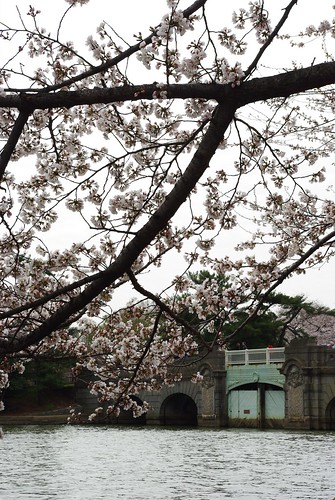 Cherry Blossoms and Bridge