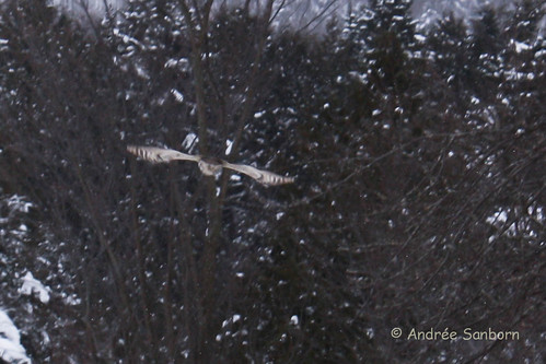 Great Horned Owl (look closely) (Bubo virginianus) (1 of 7).jpg