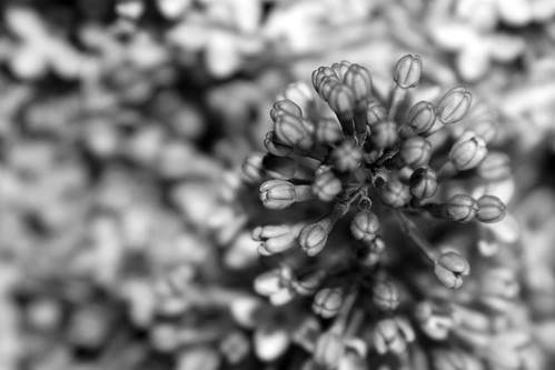black and white lilacs