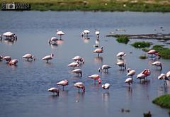 flamingo's outside jamnagar railway station (akshaypatil™ ® photography) Tags: station sony flamingo jamnagar saurashtra hx50v