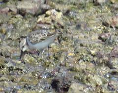 mjc-2016-08-16-IMG_2149_cr (wiccked) Tags: birding birds wellingtonpoint kingisland