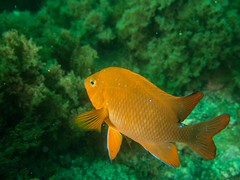P1010745.jpg (Michael Bartosek) Tags: olympusepl3 catalinaisland olympus1442mm underwater catalina diving california pacificocean