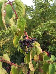 20160904_Pflanze_003 (weisserstier) Tags: pflanze strauch plant roterhartriegel cornussanguinea beere frucht