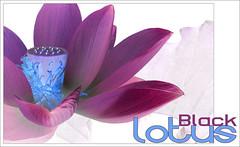 Black Lotus - Black-Lotus-64 (Bahman Farzad) Tags: black flower macro yoga poster design peace lotus relaxing peaceful meditation therapy lotusflower lotuspetal blacklotus lotuspetals lotusflowerpetals lotusflowerpetal